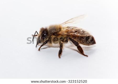 honey bee on white background - stock photo