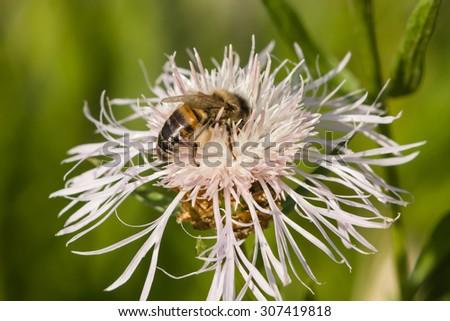 Honey bee on white knapweed flower, macro, selective focus, shallow DOF - stock photo