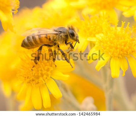 Honey Bee on Yellow Flower, Close Up Macro
