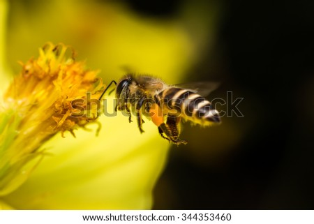 Honey Bee on Yellow Flower, Close Up Macro  - stock photo