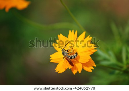 Honey bee on yellow flower collecting pollen in Houston, Texas - stock photo