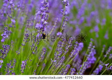 honey bee pollination on the violet lavender flower