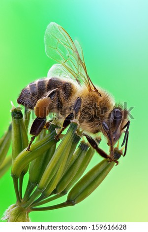 Honey bee sits on inflorescence, green background. - stock photo
