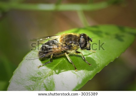 Honey bee sitting in sunlight on a green leaf - stock photo