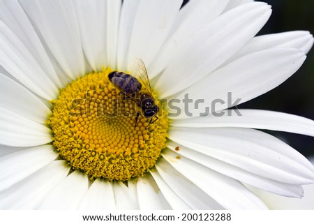 Honey Bee sitting on the yellow center of a common white daisy. - stock photo