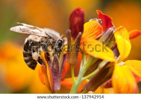 honey bee suckling nectar from the wallflower, close up