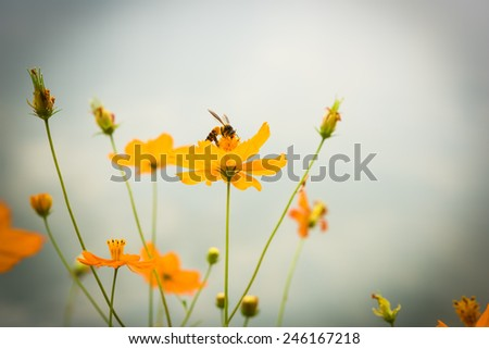 Honey bee with cosmos flower. - stock photo