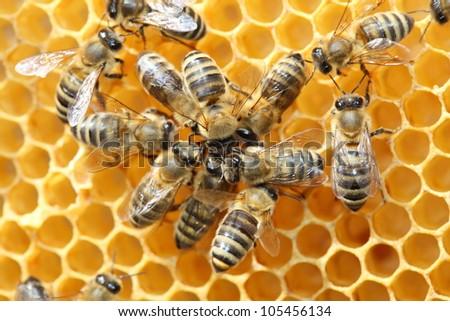 honey bees - stock photo