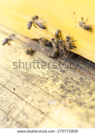 Honey bees are flying in and out of an yellow hive gathering pollen for honey.
