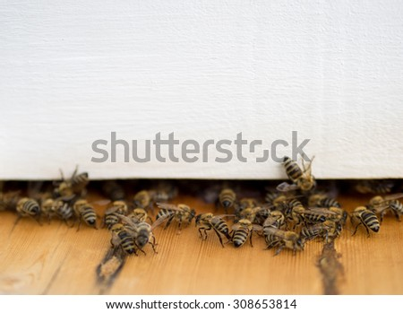 Honey bees at the entrance in beehive.  White background for your text about apiculture and bee honey. - stock photo