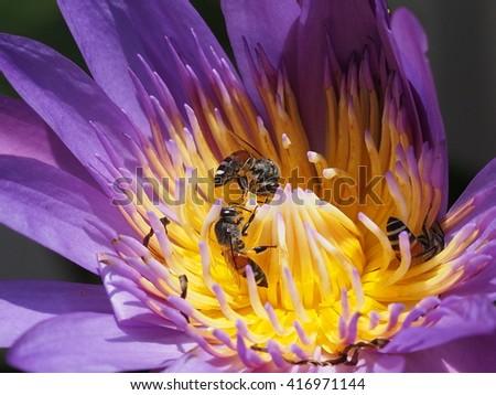 honey bees foraging on purple lotus flower - stock photo