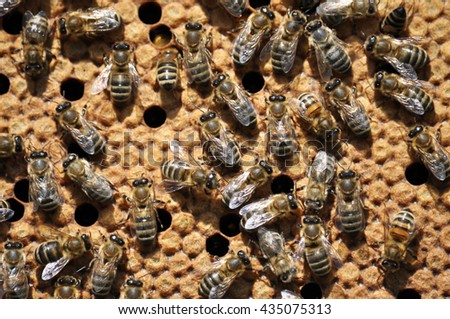 Honey bees in beehive wax frame of sealed brood