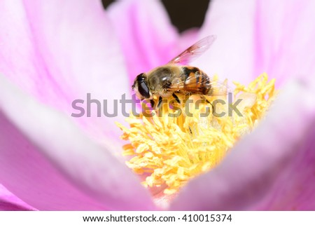 Honey bees in the flowers  - stock photo