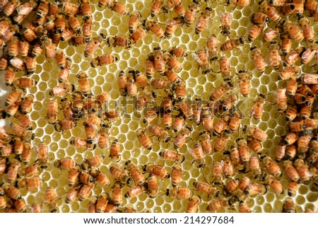Honey bees on a frame of beeswax from a beehive. - stock photo