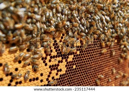 Honey bees on honeycomb - stock photo