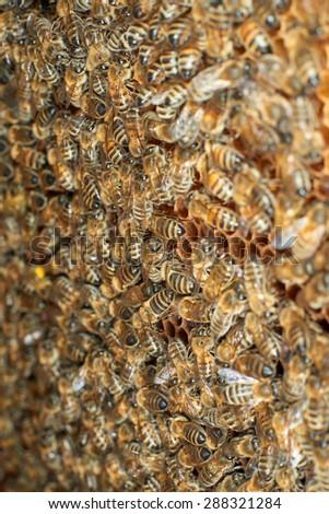 Honey bees on honeycomb producing honey - stock photo