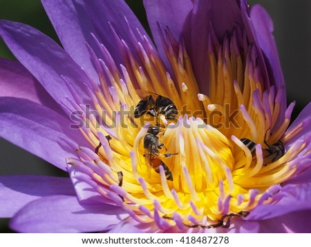 honey bees sucking nectar from pollen of lotus flower close up - stock photo