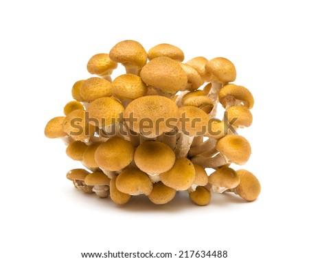Honey fungus isolated on white background close-up. horizontal photo. - stock photo