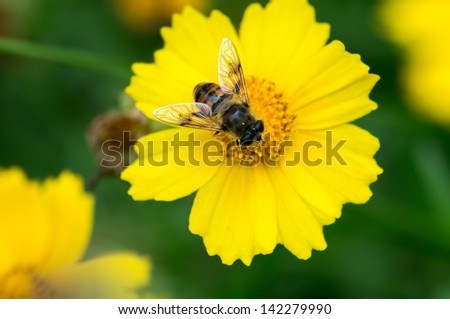honey production is in Chrysanthemum - stock photo