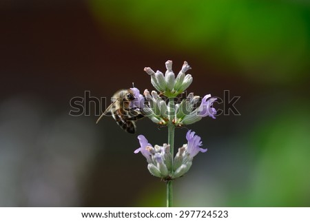honeybee and lavender