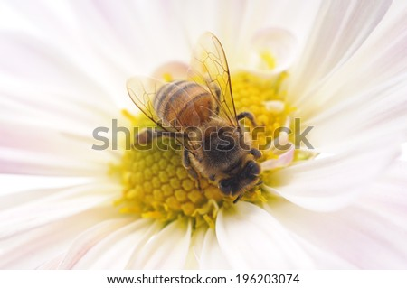 Honeybee and pink flower head isolated on a white background