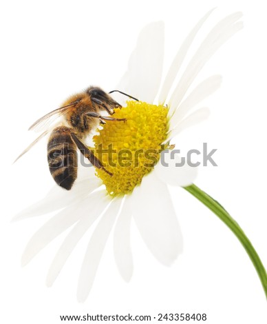 Honeybee and white flower head isolated on a white background  - stock photo