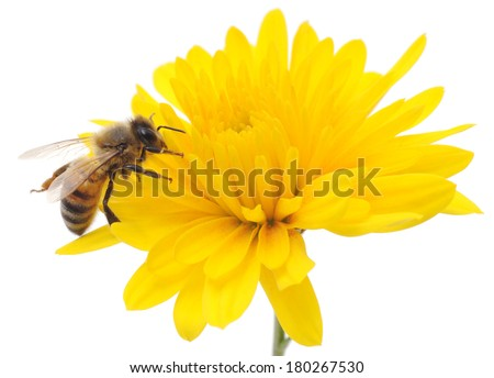 Honeybee and yellow flower head isolated on a white background  - stock photo