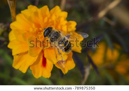 honeybee bee pollinating the orange Marigolds Tagetes flowers. macro, close up. soft selective focus
