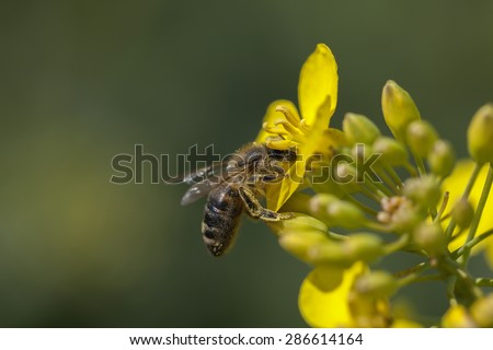 Honeybee - canola flower