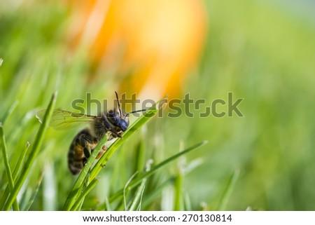 honeybee climbing on a blade of grass - stock photo