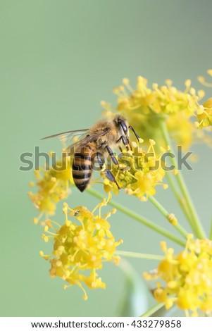 Honeybee collecting pollen from yellow apiaceae flower - stock photo