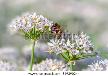 Honeybee collecting pollen on white garlic chive blossoms. - stock photo