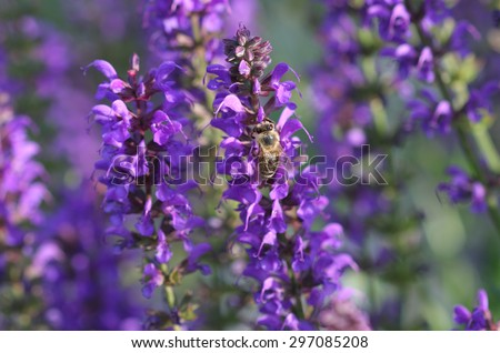 Honeybee collects nectar  on a bloom of lavender. - stock photo