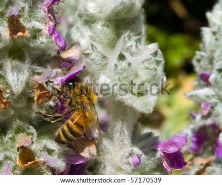Honeybee in a Flowering Lambs Ear Plant - stock photo