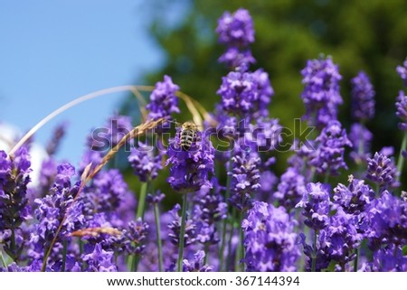 Honeybee in a lavender field