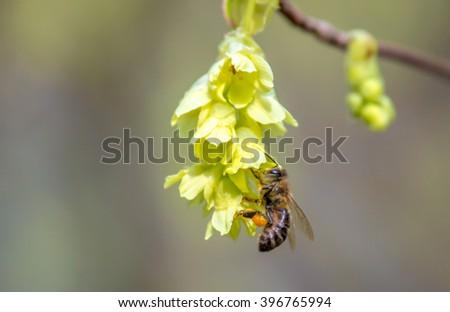 Honeybee on a flower - stock photo