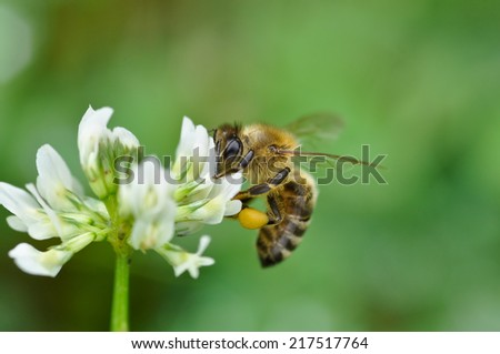 honeybee on clover flower