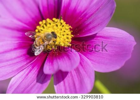 Honeybee on Pink Cosmos Flower. - stock photo