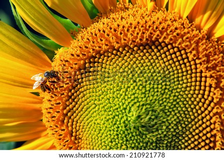 honeybee on sunflower, macro with selective focus and copy space - stock photo