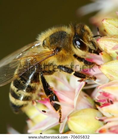 honeybee pollinated flower - stock photo