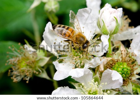 honeybee pollinating wild flowers - stock photo
