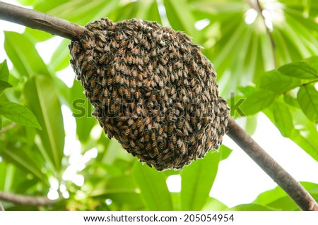 Honeybee swarm hanging - stock photo