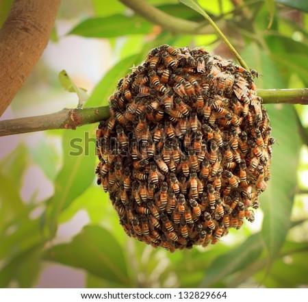 Honeybee swarm hanging at mango tree in nature. - stock photo