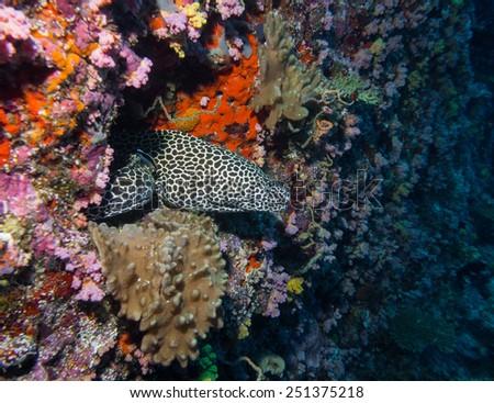 Honeycomb Eel 2 - stock photo