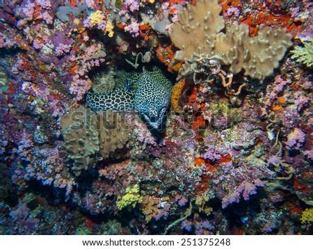 Honeycomb Eel - stock photo