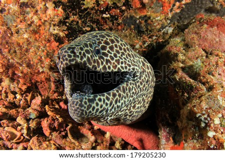Honeycomb Moray Eel - stock photo