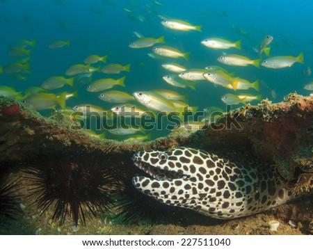 Honeycomb Moray Eel and Snapper fish - stock photo