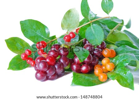 honeysuckle berries and bird cherry on a white background
