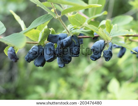 Honeysuckle branch with blue ripe berries - stock photo