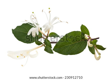honeysuckle Sprig  with white flowers and green leaves isolated on white background - stock photo